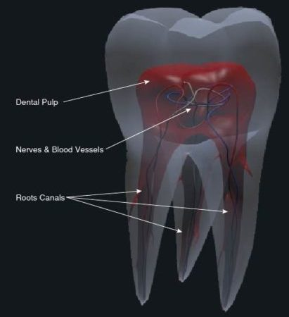 Tooth Anatomy - Root Canal